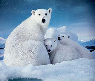 OONphoto_Bears_x330
