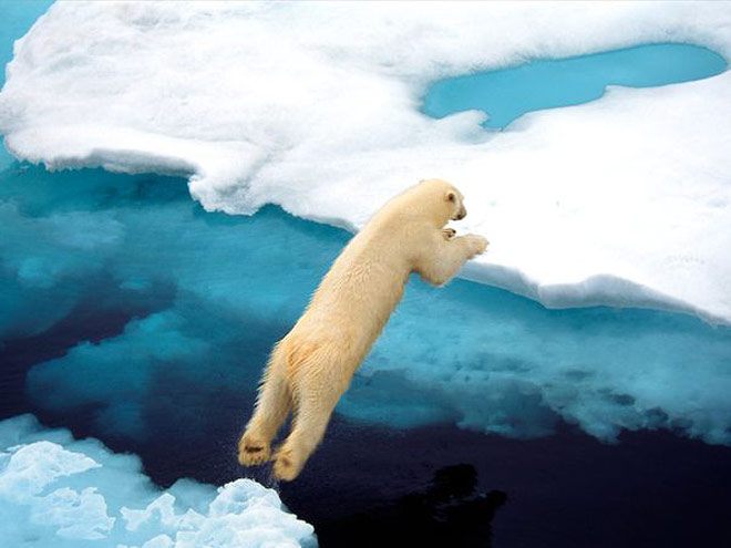 polar-bear-leaping_337_x660