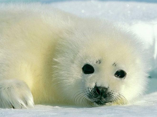 Baby-harp-seal_x660