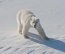 White_Bear_01_x220