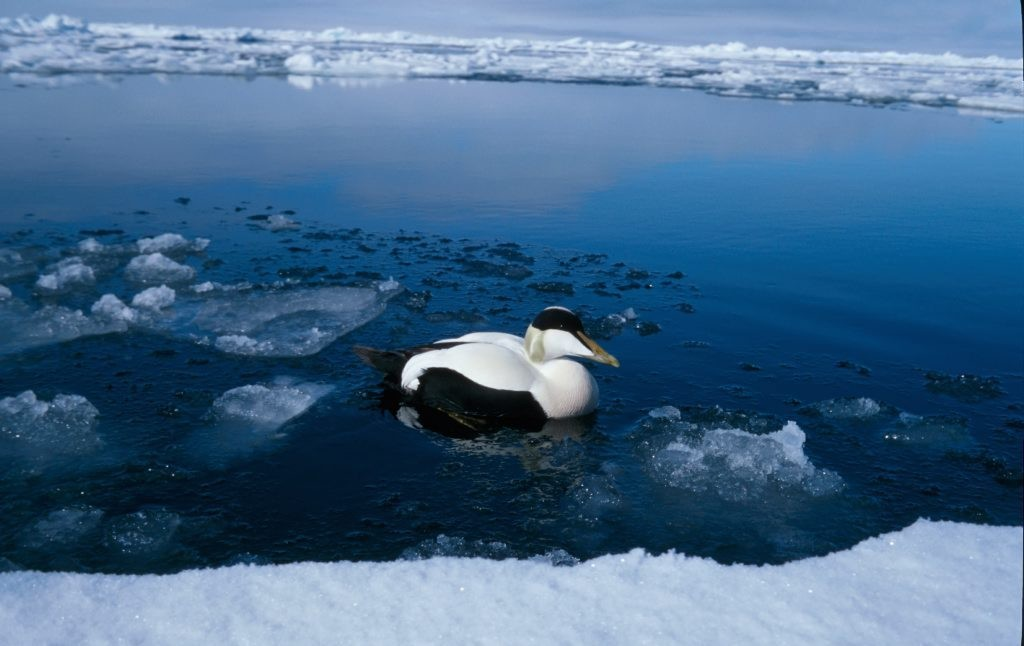 fugl svømmer ved iskanten. Ærfugl, hann