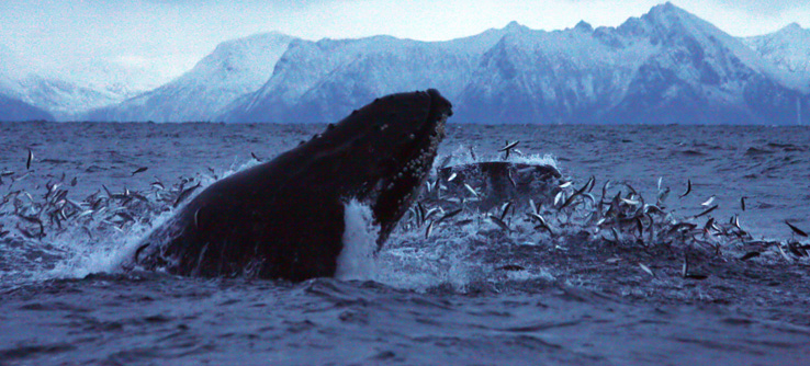 kovacic-investigating-whales-and-dolphins-of-the-norwegian-arctic-c-lucy-bruzzone-h-9_2238